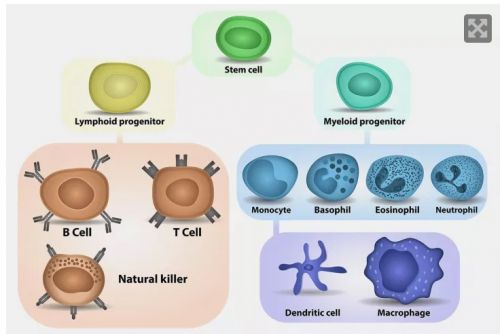 killer T cell กระตุ้นภูมิคุ้มกัน