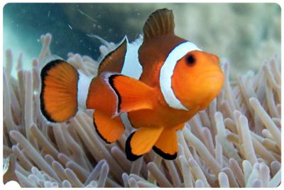 ปลาการ์ตูนส้มขาว
