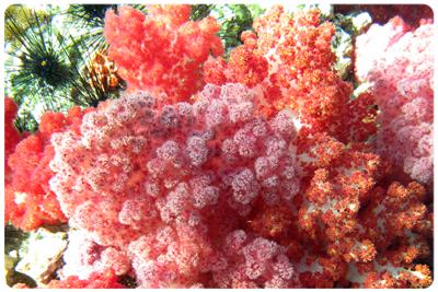 ปะการังอ่อน