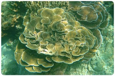 ปะการังผักกาด