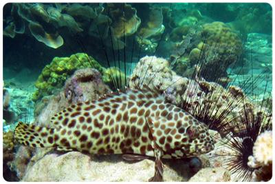 ปลากะรังเสือครีบยาว