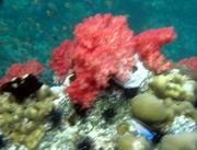 ปะการังอ่อนที่ร่องจาบัง