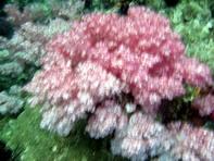 ปะการังอ่อนที่ เกาะผึ้ง