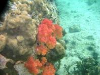 ปะการังอ่อนที่ เกาะหินซ้อน