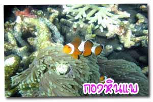 ปลานีโม่ กองหินแพ