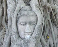 Head of Lord Buddha Image coverd by Pho tree, Wat Mahathat