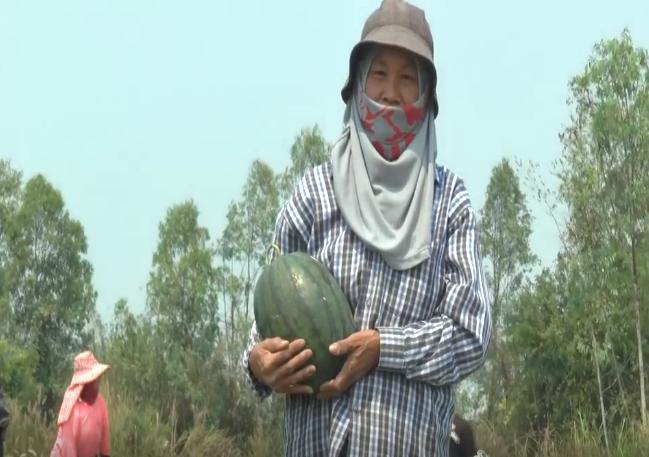ปลูกแตงโม เนื้อที่ 13 ไร่ สร้างรายได้ปีละ 300,000