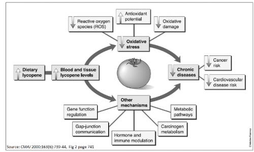 กลไกของไลโคปีนในการป้องกันโรคเรื้อรังต่างๆ